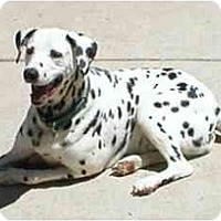Adopt A Pet :: Pongo - Milwaukee, WI