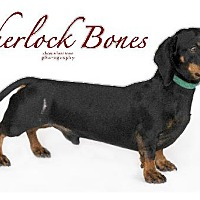 Adopt A Pet :: Sherlock Bones - San Antonio, TX