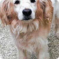 Adopt A Pet :: Noah - Fennville, MI