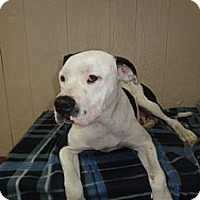 Adopt A Pet :: Betsy IN CT - East Hartford, CT