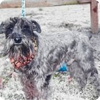 Adopt A Pet :: Scout~~ADOPTION PENDING - Sharonville, OH