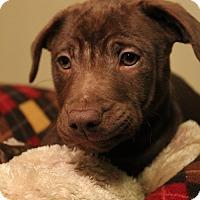 Adopt A Pet :: Hershey - Sudbury, MA
