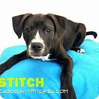 Adopt A Pet :: Stitch - Sylvania, OH
