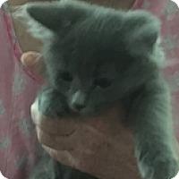 Adopt A Pet :: Ada - Germantown, MD