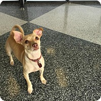 Chihuahua Mix Dog for adoption in Houston, Texas - Lucky Lily