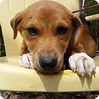 Adopt A Pet :: Conor - Manhattan, KS