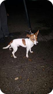 Jack Russell Terrier Dog for adoption in Norwalk, Connecticut - Jack Frasier JRT