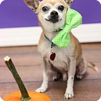 Chihuahua Mix Dog for adoption in Philadelphia, Pennsylvania - Papalote