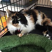 Calico Cat for adoption in Alpharetta, Georgia - Patches