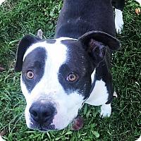 Adopt A Pet :: Buddy - Bruce Township, MI