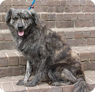 Australian Shepherd/Catahoula Leopard Dog Mix Dog for adoption in East Dover, Vermont - Louie