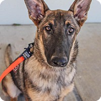 Adopt A Pet :: Cade - Pipe Creed, TX