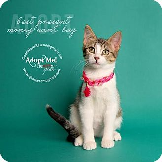 Domestic Shorthair Kitten for adoption in Houston, Texas - Bethany