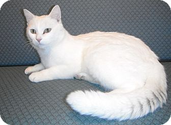 Domestic Shorthair Cat for adoption in Jackson, Michigan - Frost
