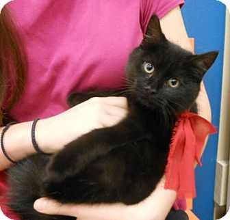 Domestic Shorthair Kitten for adoption in Reston, Virginia - Teensy