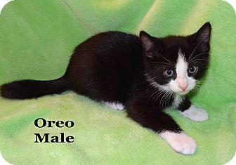 Domestic Shorthair Kitten for adoption in Bentonville, Arkansas - Oreo