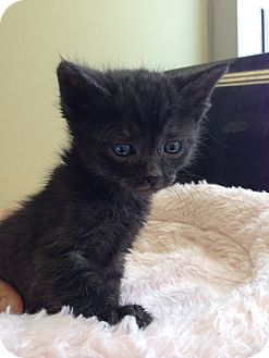 Domestic Mediumhair Kitten for adoption in Fountain Hills, Arizona - AJ