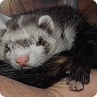 Adopt A Pet :: Django - Buxton, ME