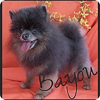 Adopt A Pet :: Bayou - Orange, CA