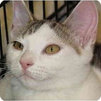 Adopt A Pet :: Snowball aka Tenderheart - Port Republic, MD