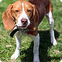 Adopt A Pet :: Elton - Tinton Falls, NJ