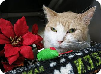 Domestic Shorthair Cat for adoption in Northbrook, Illinois - Dominic