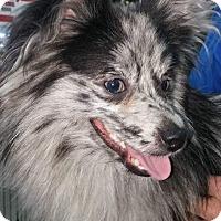 Adopt A Pet :: Merle - Alden, NY