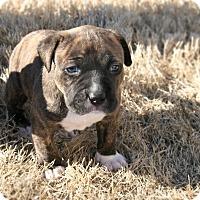 Adopt A Pet :: Maxx - Alpharetta, GA
