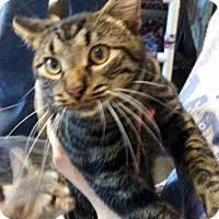 Domestic Shorthair Cat for adoption in Loogootee, Indiana - Felix