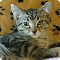American Shorthair Kitten for adoption in Rochester Hills, Michigan - Jimmie D.