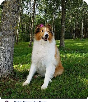 Collie Dog for adoption in Chippewa Falls, Wisconsin - Louise aka Lassie