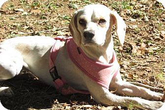 Beagle Mix Dog for adoption in Johnson City, Tennessee - Cider
