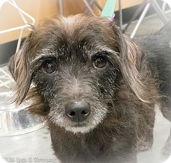 Dachshund/Terrier (Unknown Type, Small) Mix Dog for adoption in Loudonville, New York - Oscar
