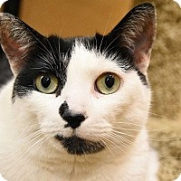 Adopt A Pet :: Snowflake-FRONT-DECLAWED - Naperville, IL