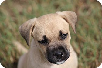 Boxer Mix Puppy for adoption in Glastonbury, Connecticut - Peek-A-Boo-ADOPTED