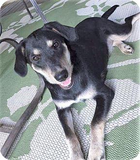 German Shepherd Dog/Labrador Retriever Mix Dog for adoption in Brattleboro, Vermont - Nina ~ ADOPTED!