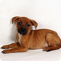 Adopt A Pet :: Nellie Boxer Mix - St. Louis, MO