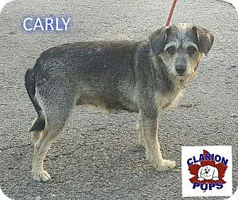 Schnauzer (Miniature)/Cocker Spaniel Mix Dog for adoption in Strattanville, Pennsylvania - CARLY