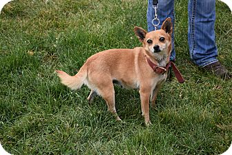 Chihuahua Mix Dog for adoption in North Judson, Indiana - Brownie