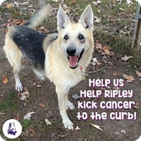 German Shepherd Dog Dog for adoption in Vineland, New Jersey - Ripley
