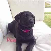 Adopt A Pet :: Rose - Fort Atkinson, WI