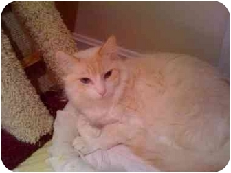 Himalayan Cat for adoption in Howell, New Jersey - Swirl