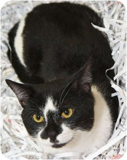 Domestic Shorthair Cat for adoption in Mt. Prospect, Illinois - Jester