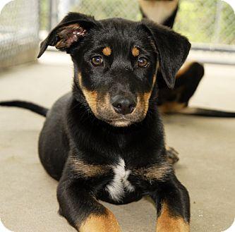 Janet | Adopted Puppy | West Warwick, RI | Rottweiler ...Australian Shepherd Rottweiler Mix Information