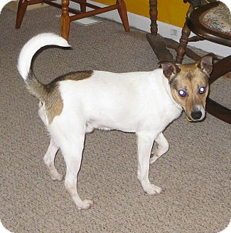 Jack Russell Terrier Puppy for adoption in Prole, Iowa - Jackson