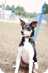 Jack Russell Terrier Mix Dog for adoption in Crawfordville, Florida - Sonoma