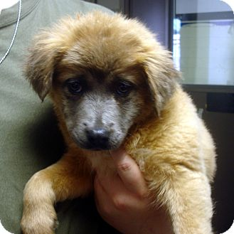 Australian Shepherd/Border Collie Mix Puppy for adoption in baltimore, Maryland - Phyllis