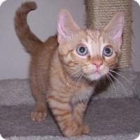 Adopt A Pet :: K-Athena3-Remus - Colorado Springs, CO