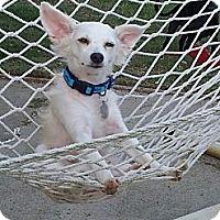 Adopt A Pet :: Gandolf the White - Homewood, AL