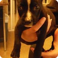 Adopt A Pet :: Bitsy - Gary, IN